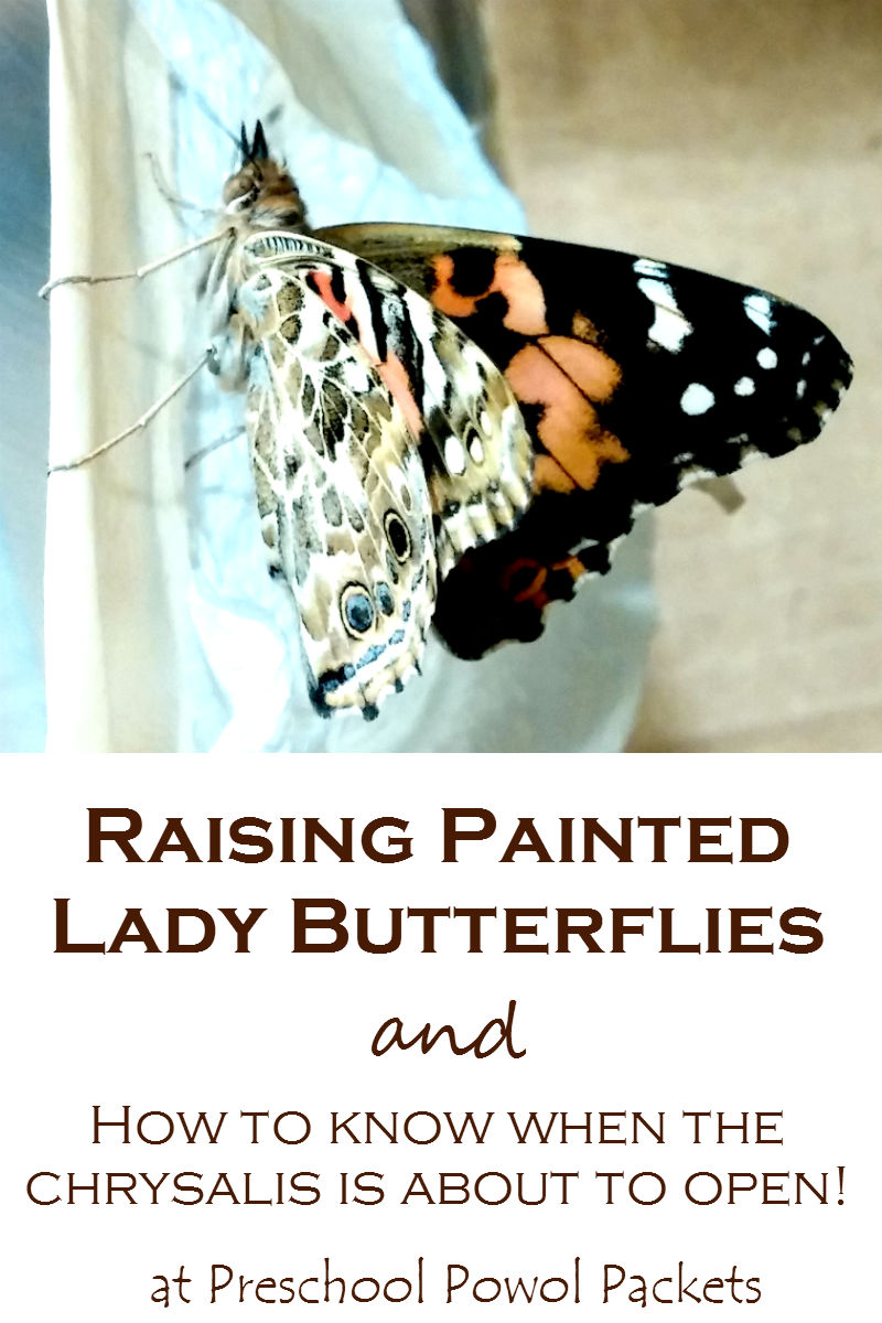 raising painted lady butterflies and watching them hatch