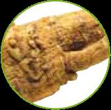 ρίζα πικραλίδας