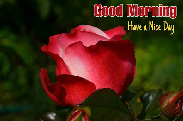 Awesome good morning image with red rose flower have a nice day