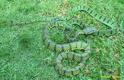 ular hijau ekornya merah, ular hijau ekor, bahaya ular hijau ekor merah, foto ular hijau, fakta ular hijau, ular hijau gadung, ular hijau garis kuning, ular hijau garis hitam, ular hijau gelap, ular gonyosoma hijau, ular garis hijau, gambar ular gadung hijau