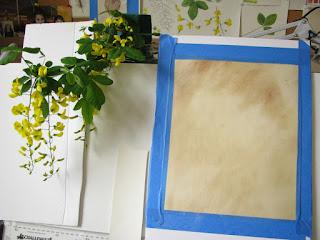 Laburnum painting Shevaun Doherty