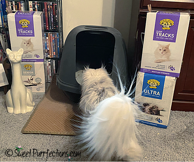 silver shaded Persian entering cat box with Dr. Elsey's litter boxes beside her
