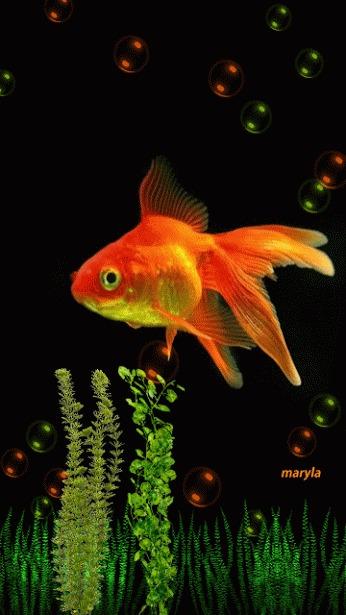 Peces dorados crecen enormes en libertad y se hacen plaga