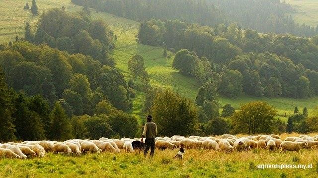 Keuntungan Ternak Domba