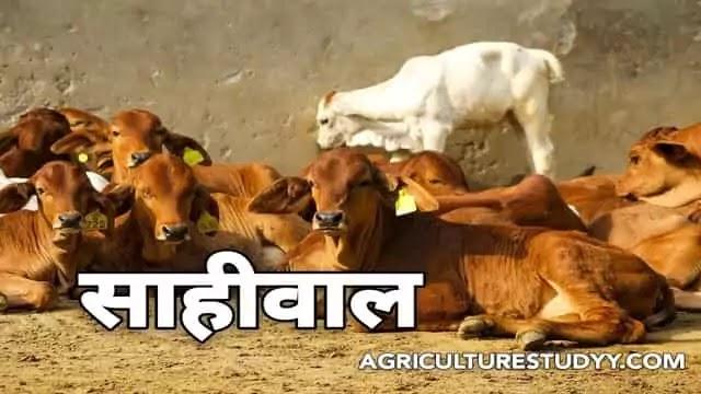 साहीवाल नस्ल की गाय के बारे में पूरी जानकारी