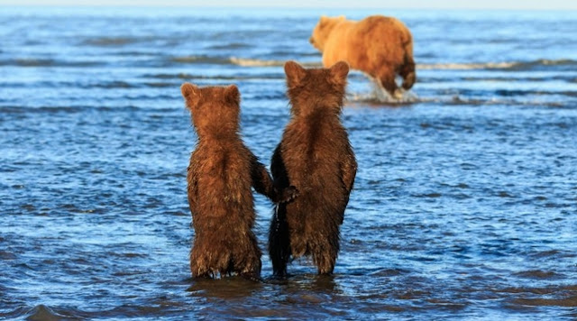 Bear Cubs Hold Hands As Their Mum Goes Hunting For Supper