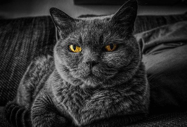 Kucing kulu pendek britania / british shorthair