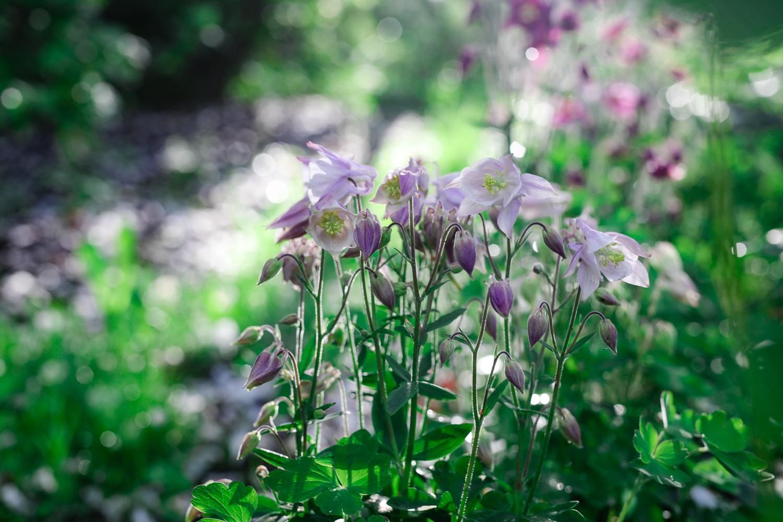 aquilegia-vulgaris-100outdoor