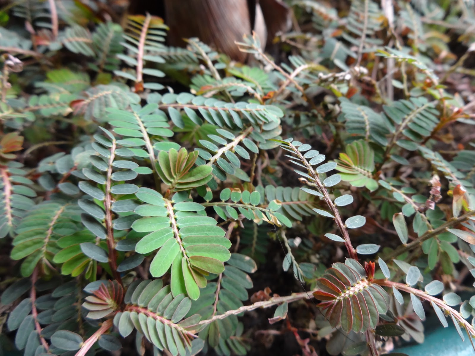 Herbs From Distant Lands Phyllanthus Niruri