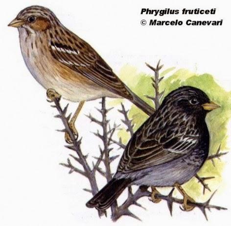 Yal negro, Phrygilus fruticeti