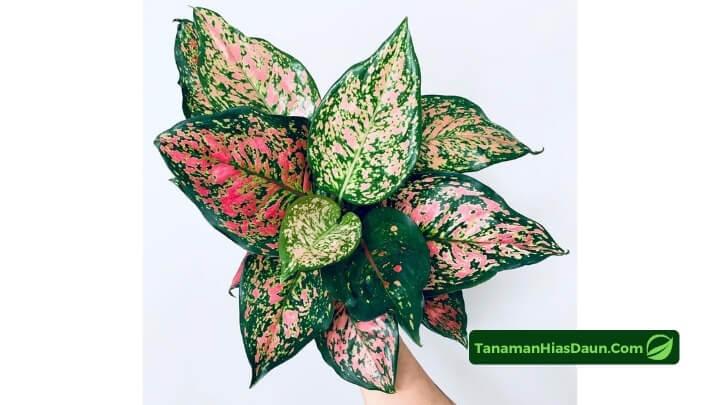 Cara-Memilih-Aglaonema-Red-Valentine