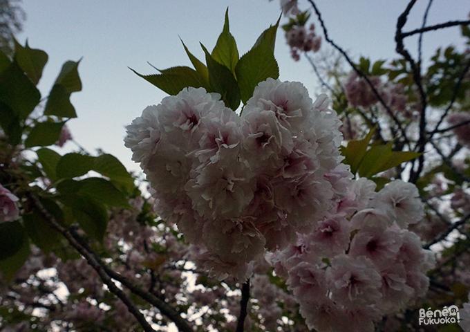 Fleurs de cerisiers yaezakura en forme de coeur Fukuoka