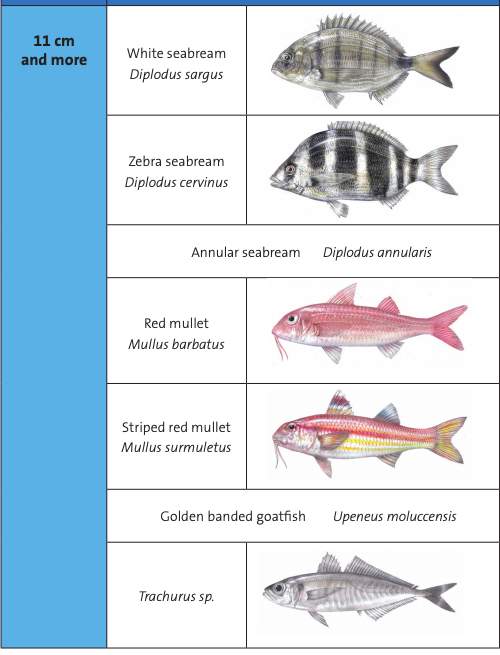 Israel Fishing sea bream Catch and Size Limits