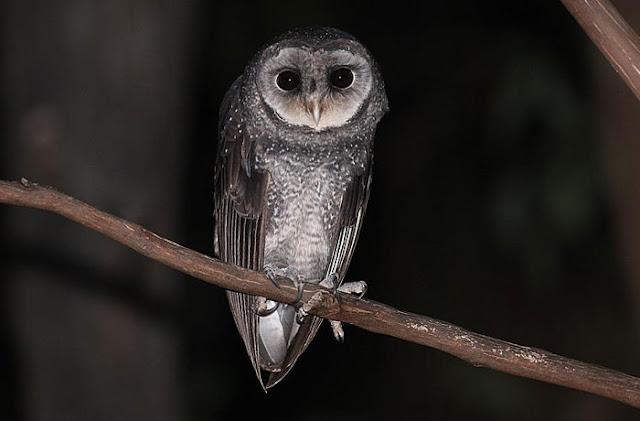 Serak Hitam, Greater Sooty Owl,Tyto tenebricosa Gould