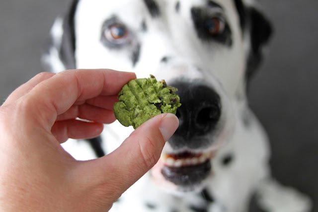 Dalmatian dog begging for a green dog treat