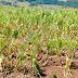 Seca avança em SC e derruba produção agrícola