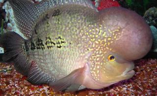 Seperti Kita Ketahui Bersama Bahwa Peluang Bisnis Ikan Hias Khususnya Ikan Louhan Tak ada Kabar Terbaru- JENIS IKAN LOUHAN LOKAL