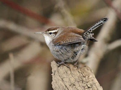 Photo of Bewick's Wren on a log