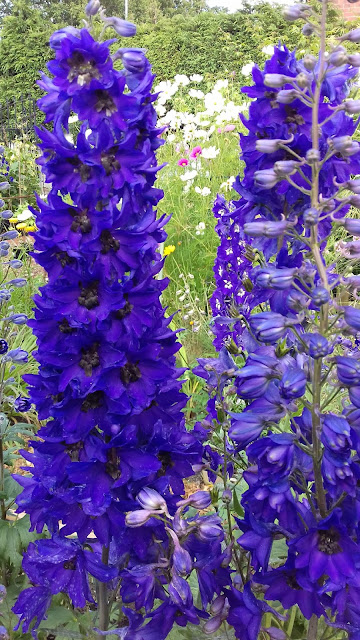Intense purple Pacific Giant Black Knight Group delphinium with well filled flower spikes, flowering first year from seed.