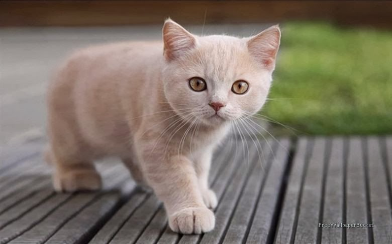 Most Beautiful Free Wallpapers Cat Attention Know How To Pet A Cat 62 Most Cutest Cats In The World