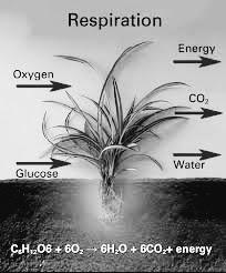पौधों में श्वसन (Respiration in plants) :