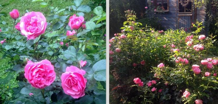 Rosen und Phlox zusammen im Beet