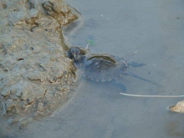 Οι χελώνες του νερού ανήκουν και αυτές στην κατηγορία των ερπετών που σημαίνει ότι είναι ψυχρόαιμα ζώα