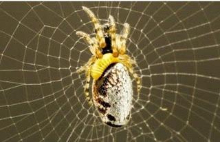 ΑΠΙΣΤΕΥΤΟ: Διαβολική σφήκα υποχρεώνει αράχνες να της πλέκουν... ζιπουνάκια [video]