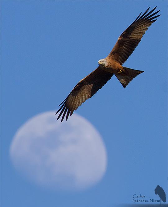 Milano negro, Milvus migrans con la luna de fondo