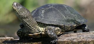 Bataklık Kaplumbağası Hakkında Bilgi