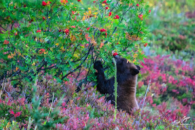 Image of black bear cub eating berries