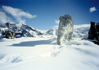 Snow leopard, Hemis National Park, India