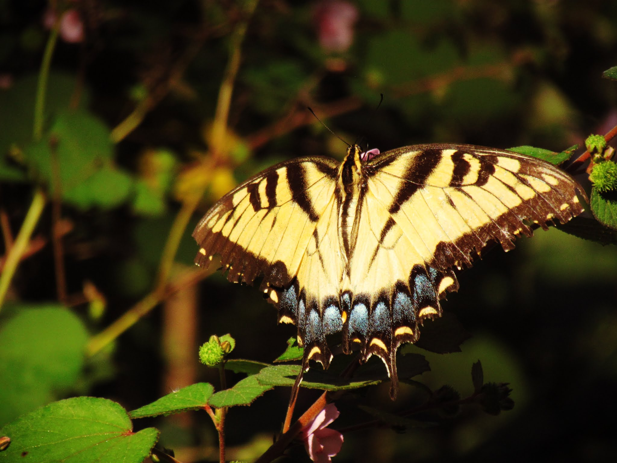 A swallowtail butterfly of the Florida butterfly species variety in a Florida green meadow in the autumn daylight