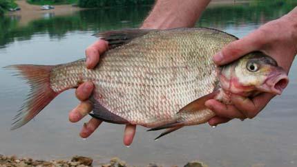 Рыбалка видео: Ловля леща в августе