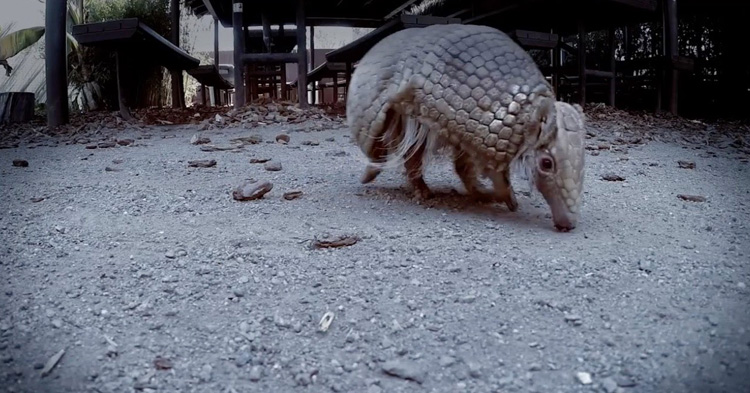 Armadillos are New World placental mammals with a leathery armor shell
