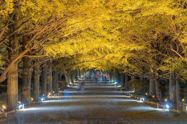 昭和記念公園,紅葉,銀杏,ライトアップ