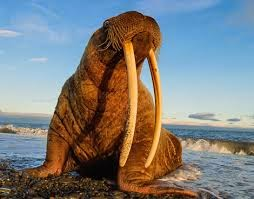 what is walrus tusk made of