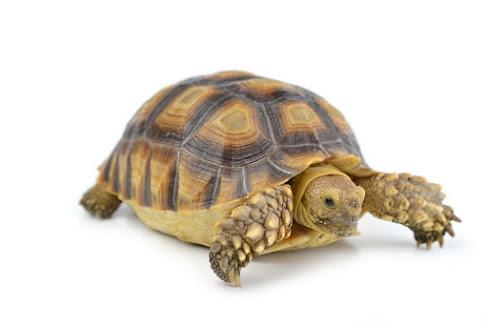 tafsir angka kura-kura