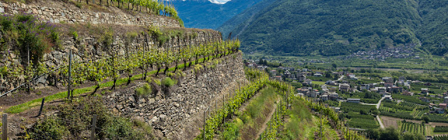 Vineyards of the Valtellina Lombardy