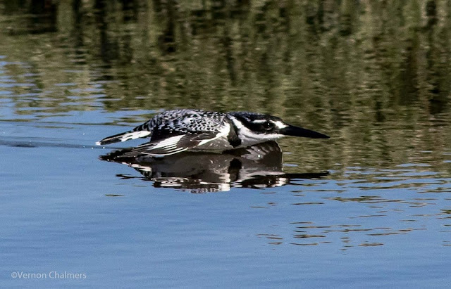 Low flying Pied Kingfisher crashing into the Diep River - Image 1