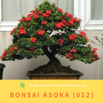 Bonsai Asoka (012)
