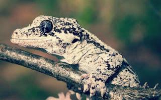 Jenis Gecko Tokek Hias Beserta Harganya