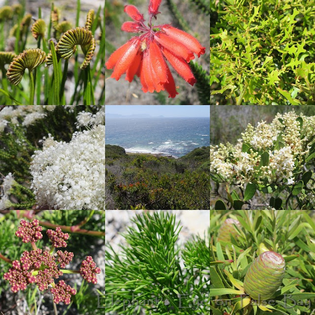 December flowers at Kanonkop in Cape Point