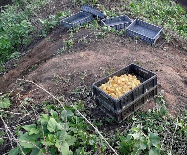 На українському кордоні з Росією контрабандисти залишили помирати сотні маленьких каченят