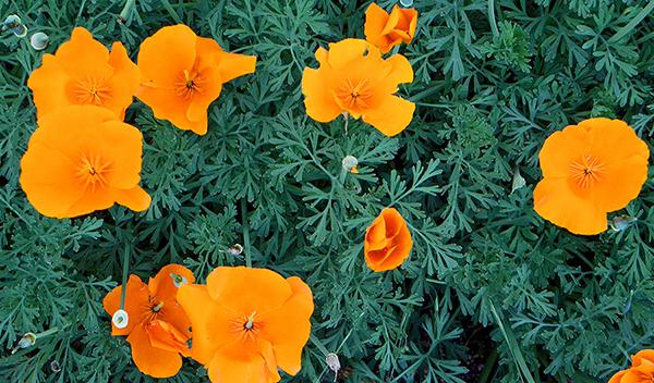 Orange poppies with blue-green foliage