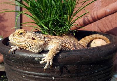 How to care for bearded dragon