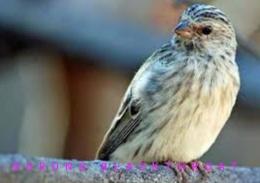 Suara Kicauan Burung Blackthroat Masteran mp3