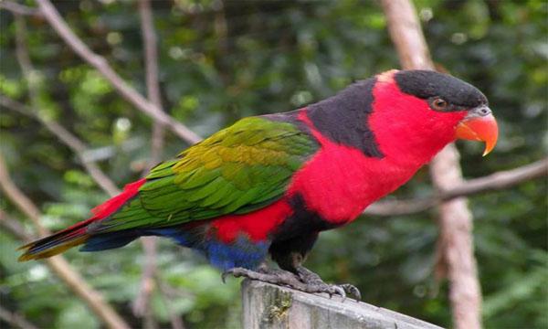 Burung Nuri Papua