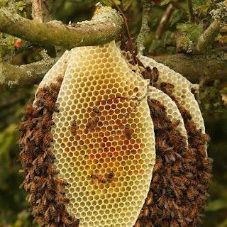 هل النحل البري أفضل من النحل المستأنس؟