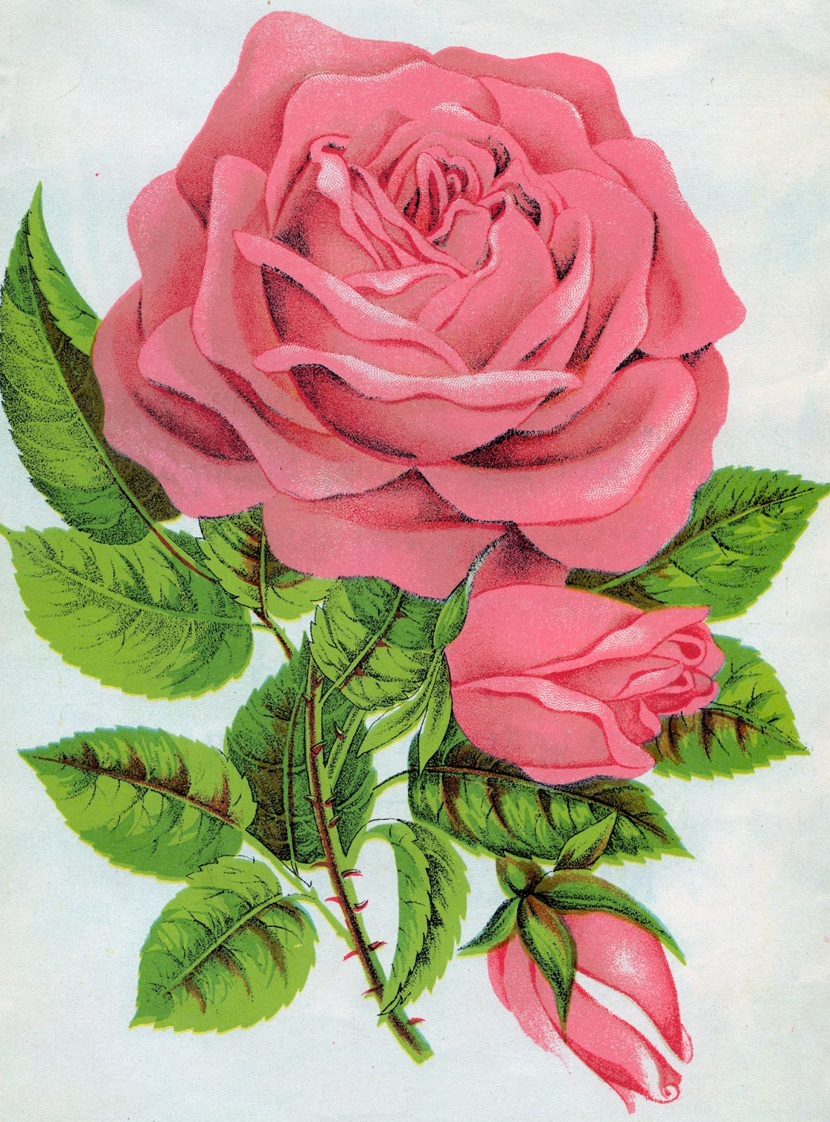 Antique Images: Free Rose Graphic: Botanical Illustration ...